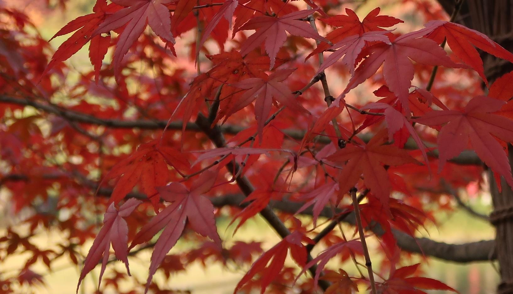 pianta giapponese